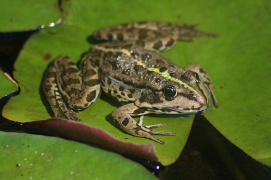 grass frog; photo credit: https://pxhere.com/th/photo/1384679